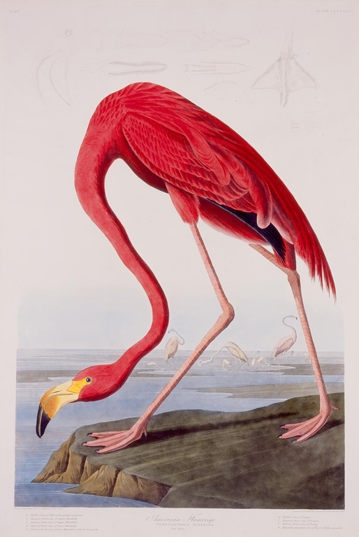 "Robert Havell, Jr. (Amercian, b. England 1793–1878), after John James Audubon (American, b. Santo Domingo [now Haiti], 1785–1851), American Flamingo (Phoenicopter Ruber. Linn.), No. 87, pl. CCCCXXXI (431); from ""The Birds of America"", 1838. Hand-colored engraving with aquatint. Milwaukee Art Museum, Gift of Northwestern Mutual Life Insurance Company. Photo credit John R. Glembin"