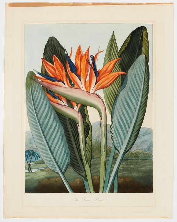 After Philip Reinagle (English, 1749–1833), The Queen Flower, published January 1, 1812. Etching, aquatint, color roulette, with hand coloring, varnished. Milwaukee Art Museum, Gift of Mr. and Mrs. William F. Pabst Jr. and Mr. and Mrs. Harry Starr III in memory of Mrs. Carl Eberbach M1973.101. Photo credit: John R. Glembin.