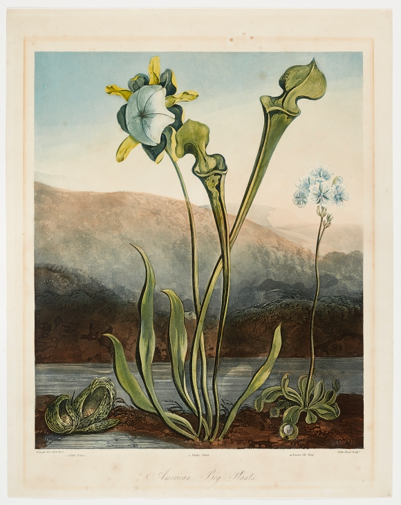 Thomas Sutherland (English, 1785–1838), after Philip Reinagle (English, 1749–1833), American Bog-Plants, published July 1, 1806. Color aquatint, etching, stipple, and engraving with hand coloring. Milwaukee Art Museum, Gift of Mr. and Mrs. William F. Pabst Jr. and Mr. and Mrs. Harry Starr III in memory of Mrs. Carl Eberbach M1973.102. Photo credit: John R. Glembin.