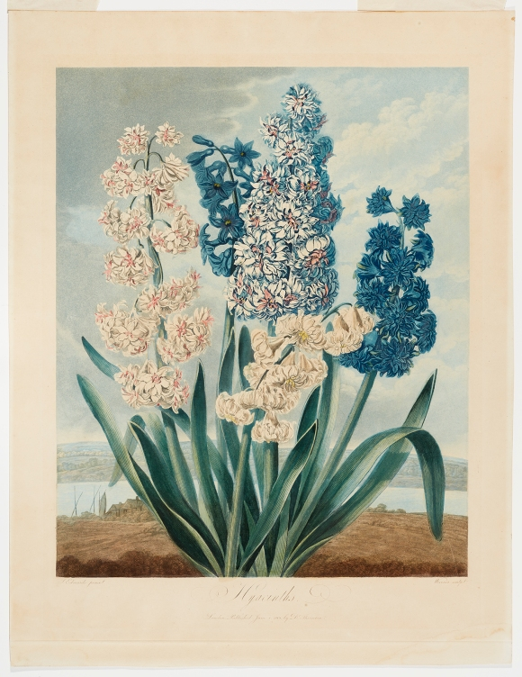 Thomas Warner (English, active 1790–1828), after Sydenham Teast Edwards (Welsh, 1768–1819), Hyacinths, published June 1, 1801. Aquatint, etching and stipple, printed in color, hand coloring, varnished. Milwaukee Art Museum, Gift of Mr. and Mrs. William F. Pabst Jr. and Mr. and Mrs. Harry Starr III in memory of Mrs. Carl Eberbach M1973.108. Photo credit: John R. Glembin.