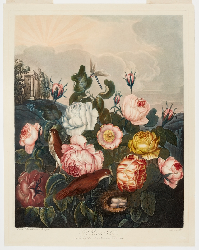 Richard Earlom (English, 1743–1822), after Robert John Thornton (English, ca. 1768–1837), Group of Roses, published October 1, 1805. Color aquatint, etching, stipple, and mezzotint with hand coloring, varnished. Milwaukee Art Museum, Gift of Mr. and Mrs. William F. Pabst Jr., and Mr. and Mrs. Harry Starr III in memory of Mrs. Carl Eberbach M1973.109. Photo credit: John R. Glembin.
