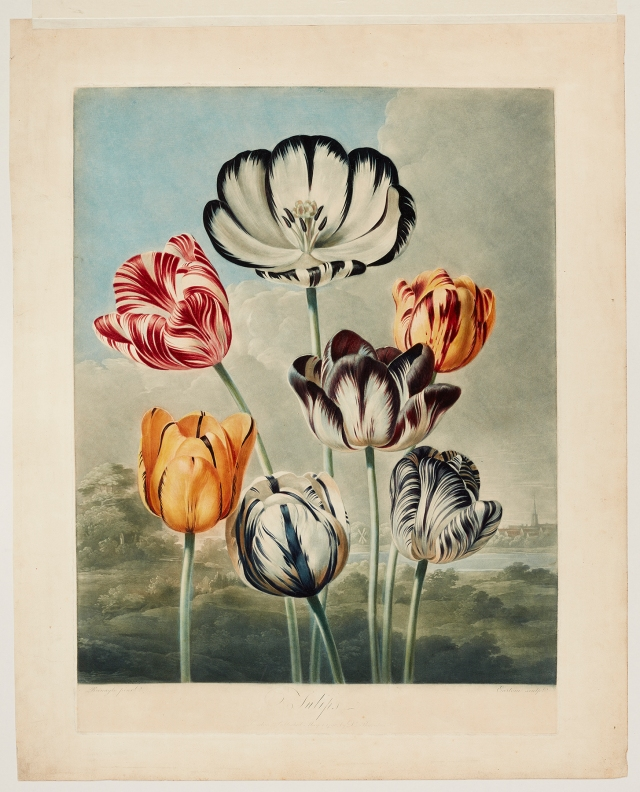 Richard Earlom (English, 1743–1822), after Philip Reinagle (English, 1749–1833), Tulips, published May 1, 1798. Color mezzotint with hand coloring. Milwaukee Art Museum, Gift of Mr. and Mrs. William F. Pabst Jr. and Mr. and Mrs. Harry Starr III in memory of Mrs. Carl Eberbach M1973.99. Photo credit: John R. Glembin.